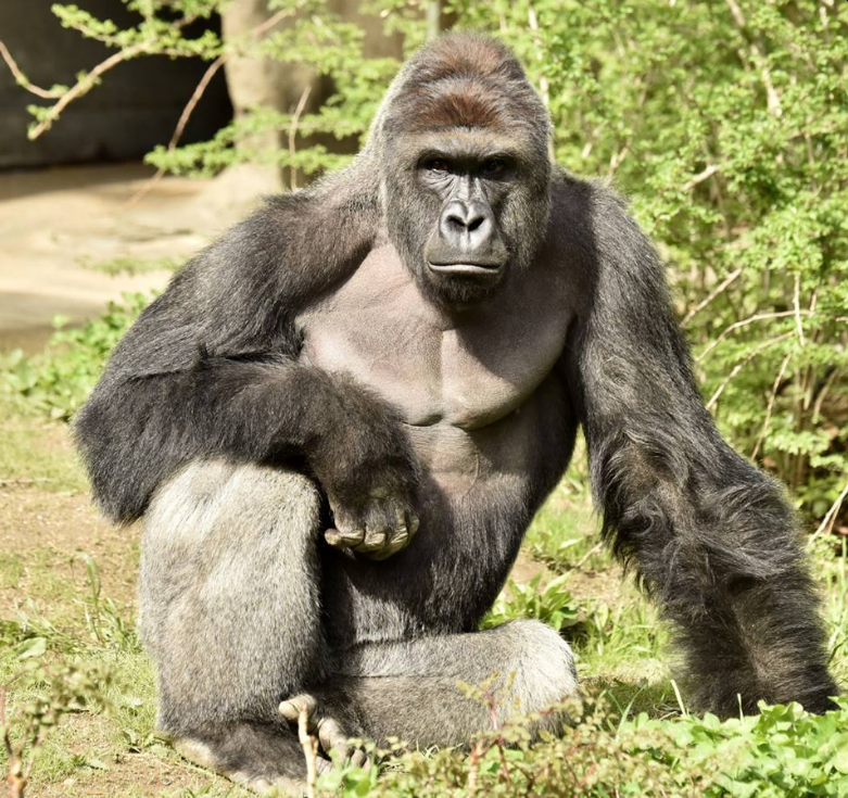 gorilla shot in Cincinnati zoo
